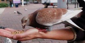 pigeon feeding3